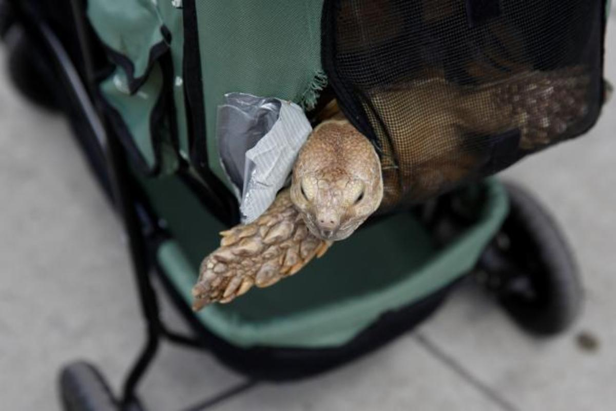 Henry, an African spurred tortoise, peeks out of his stroller on 110th street in New York, U.S., May 19, 2016.   REUTERS/Shannon Stapleton