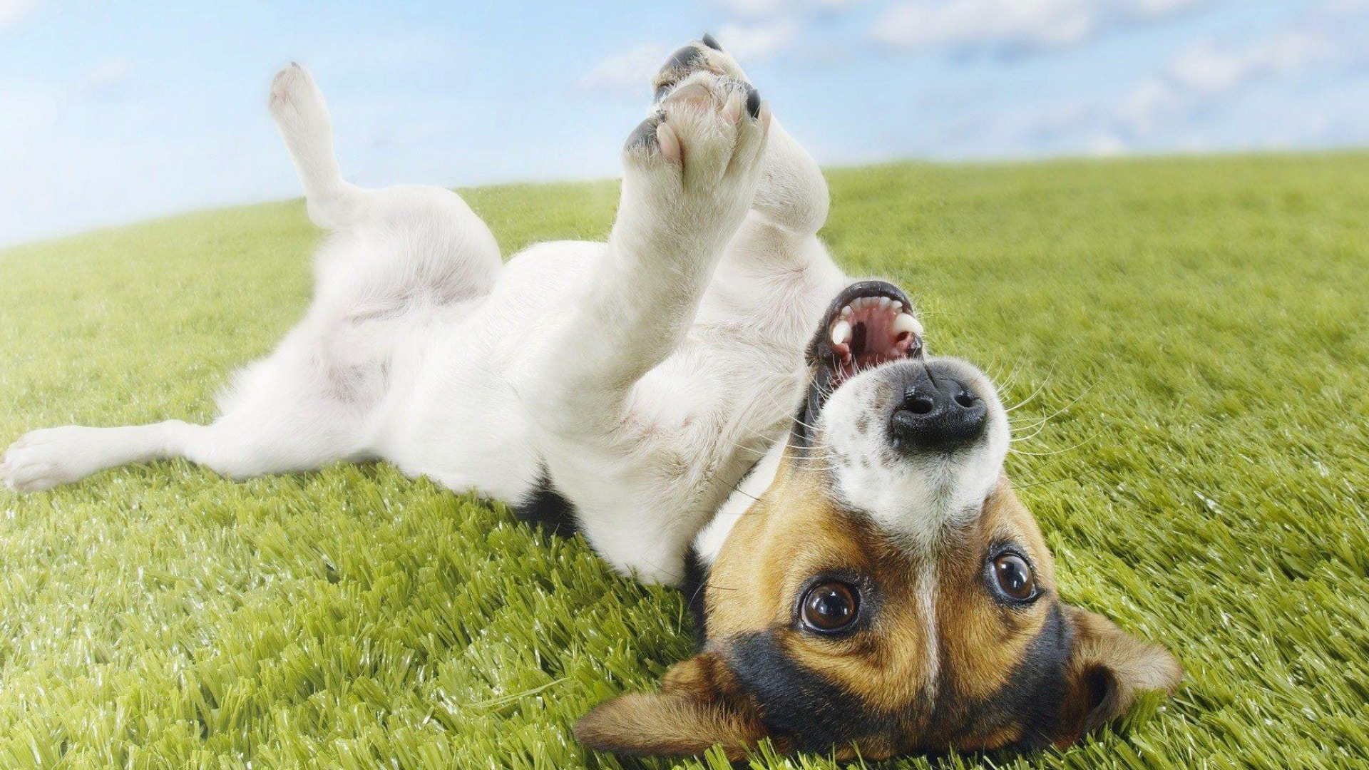 cute-dog-terrier-funny-pet-laugh-play-green-grassland-sunny-1920x1080